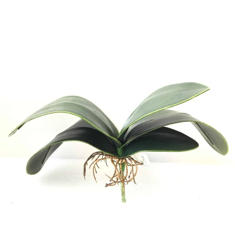 GS36Moth orchid leaves