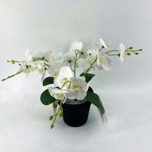 BS30: Bunch Phalaenopsis 20